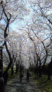 4月11日 今日の桜