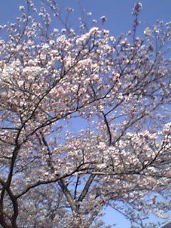 奈良から桜便り