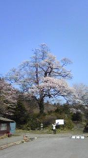 4月10日 今日の桜